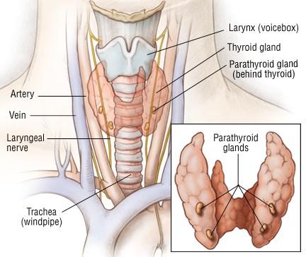 parathyroid-gland-anatomy