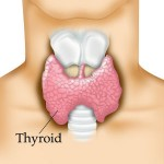 what-is-the-thyroid-gland